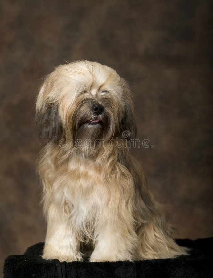 Tibetan Terrier stock photos
