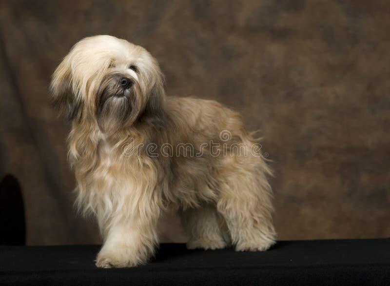 Download Tibetan Terrier stock photo. Image of indoor, focus, standing - 3732832