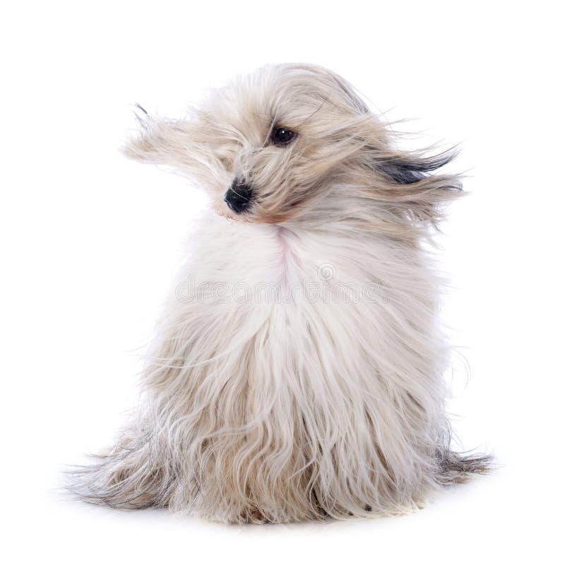 Tibetan terrier arkivbilder