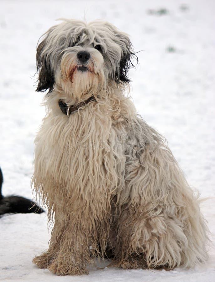 Free Tibetan Terrier Stock Image - 8100201