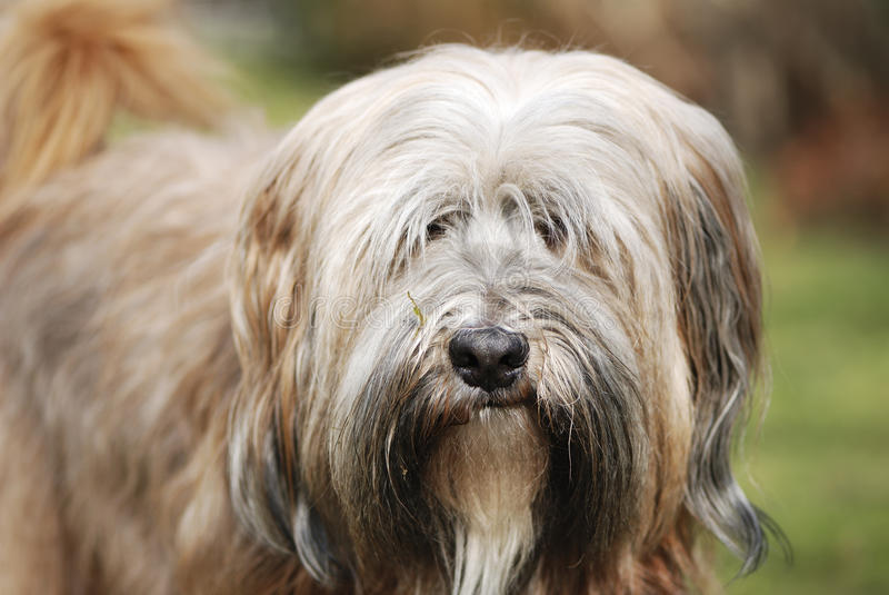 Tibetan Terrier Dog royalty free stock images