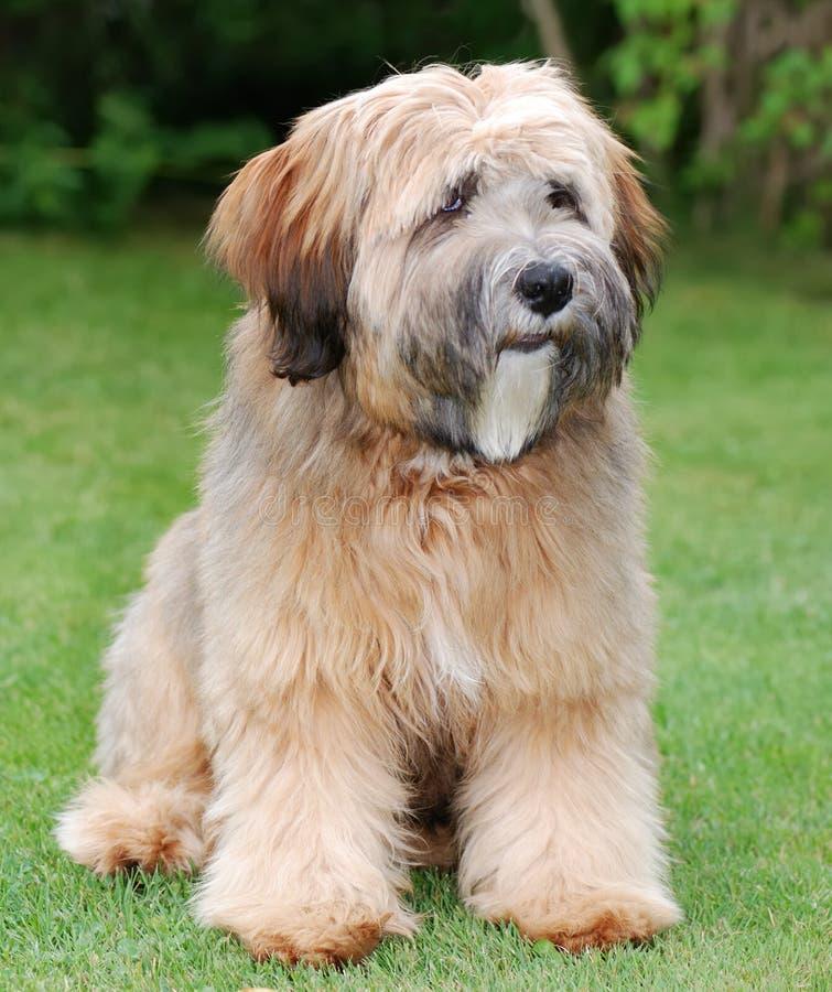 Download Tibetan terrier dog stock photo. Image of terrier, puppy - 6790894