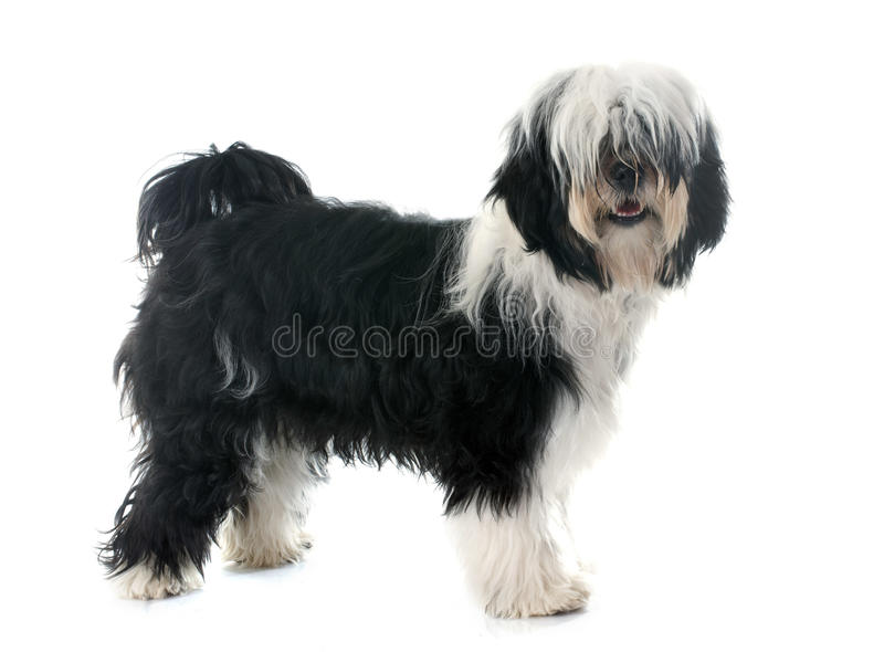 Tibetan terrier stock photography