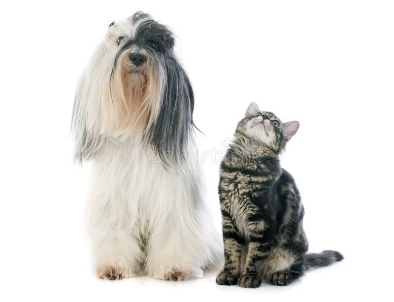 Tibetan terrier and kitten stock photos