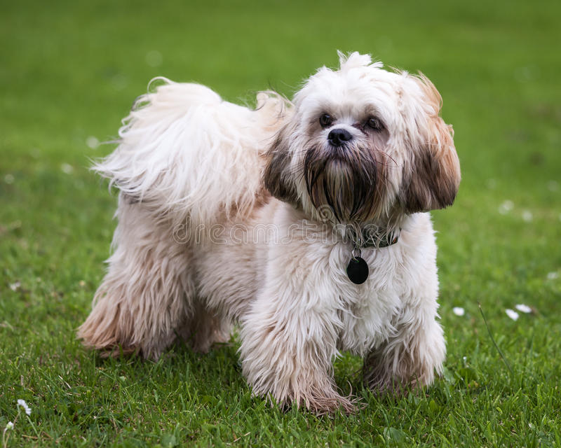Tibetan Terrier royalty free stock images