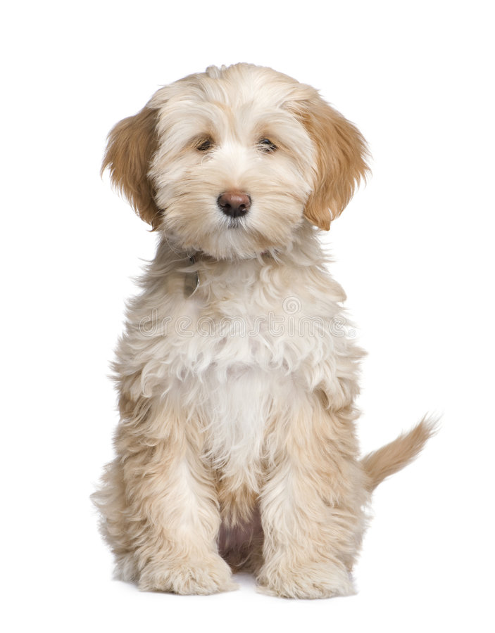 Tibetan Terrier puppy (3 months) royalty free stock photos
