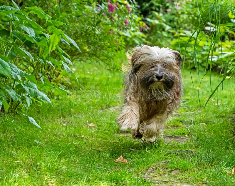 Tibetan Terrier running in the garden royalty free stock image