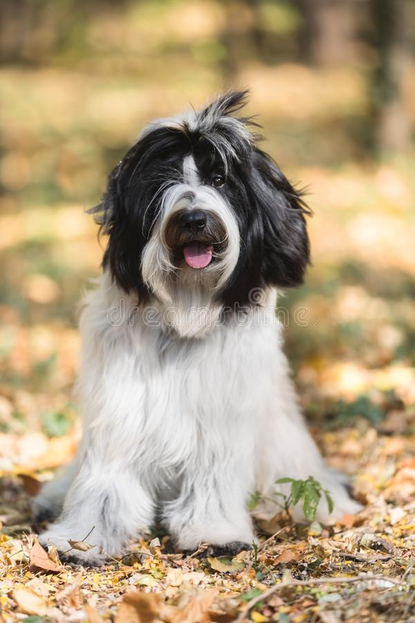 Tibetan terrier sitting in the forest in an autumn walk. Beautiful Tibetan terrier dog or Tsang Apso, sitting in the forest in an autumn walk, looking at camera stock image
