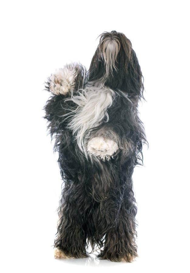 Tibetan terrier upp royaltyfri bild