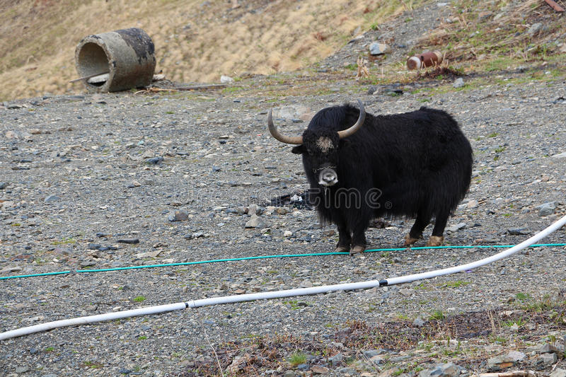 The Tibetan Yak in the Caucasus mountains royalty free stock image