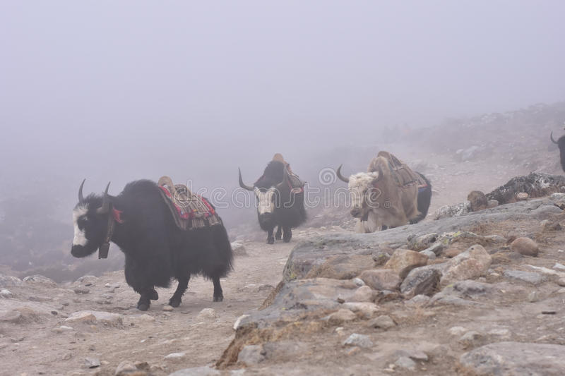Tibetan yaks in the mist royalty free stock photo
