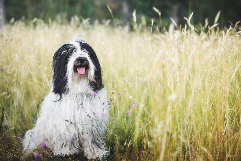 Tibetana Terrier hund som sitter i gräset på en solig dag arkivfoto
