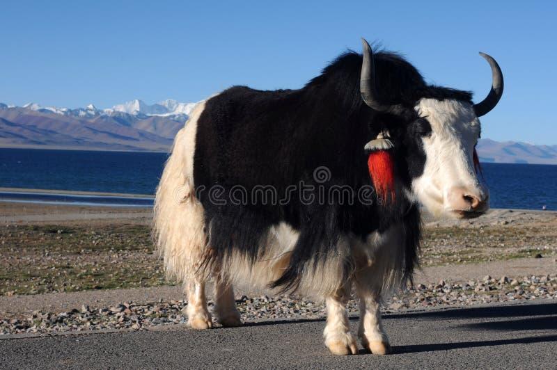 Tibetanische Yak stockfotos