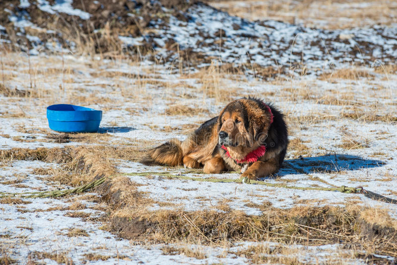 Tibetanischer Mastiff schützt den Eintritt zum Nomadelager stockfotografie