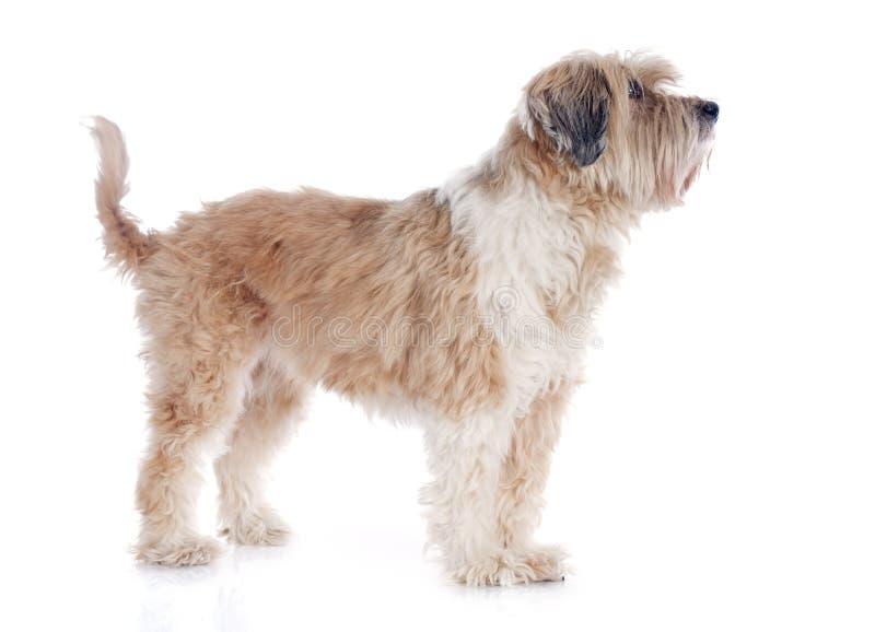Tibetanischer Terrier lizenzfreie stockfotos