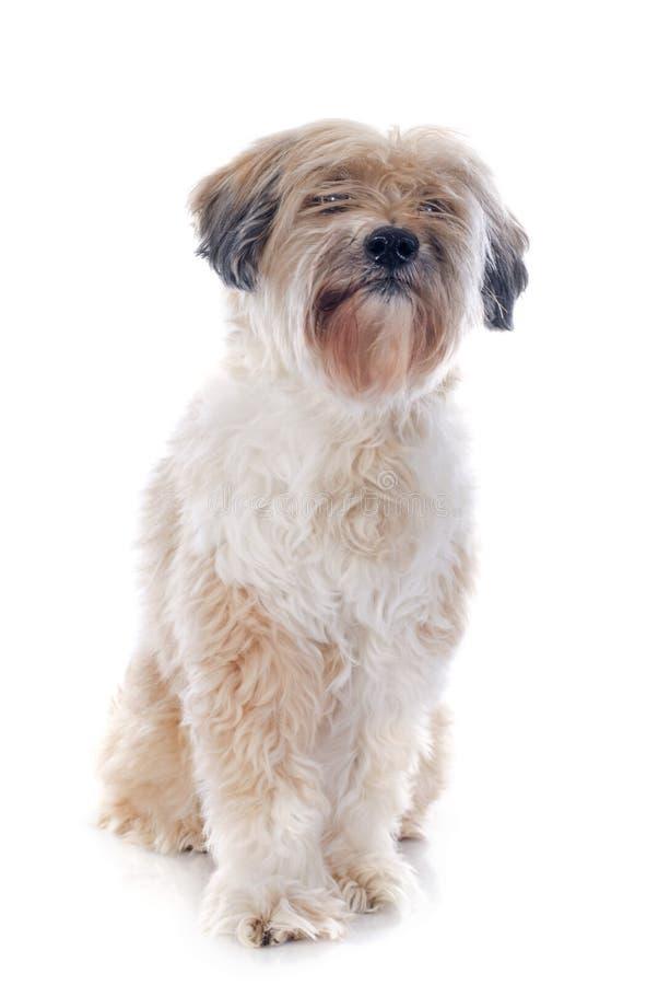 Tibetanischer Terrier stockbild