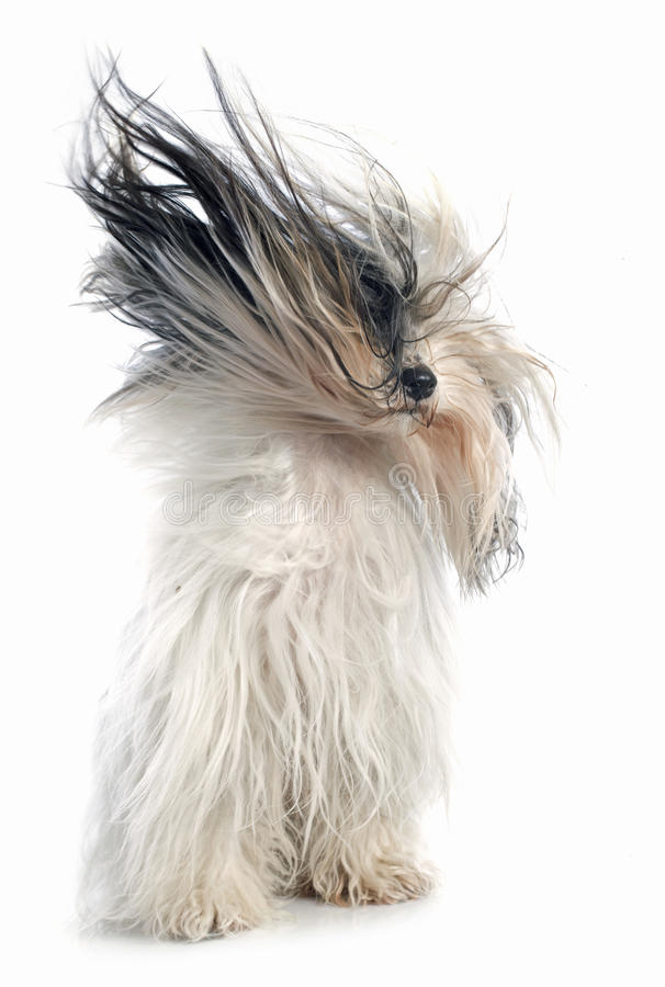 Tibetanischer Terrier stockbilder
