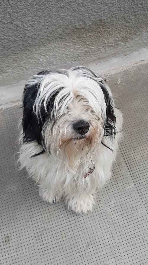 Tibetanischer Terrier