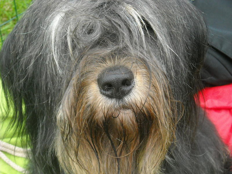 Tibetansk狗och Irländsk安装员 免版税图库摄影