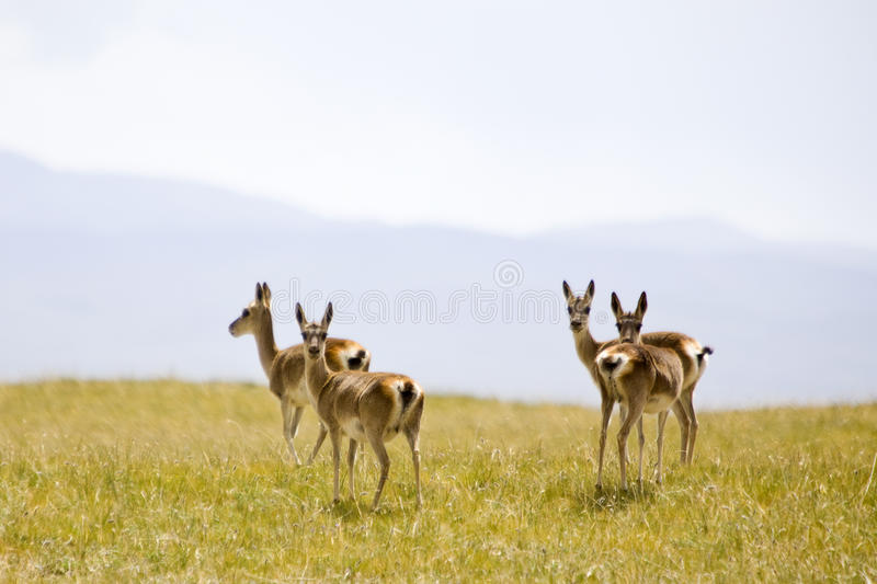 tibetant wild för gazelles arkivbilder