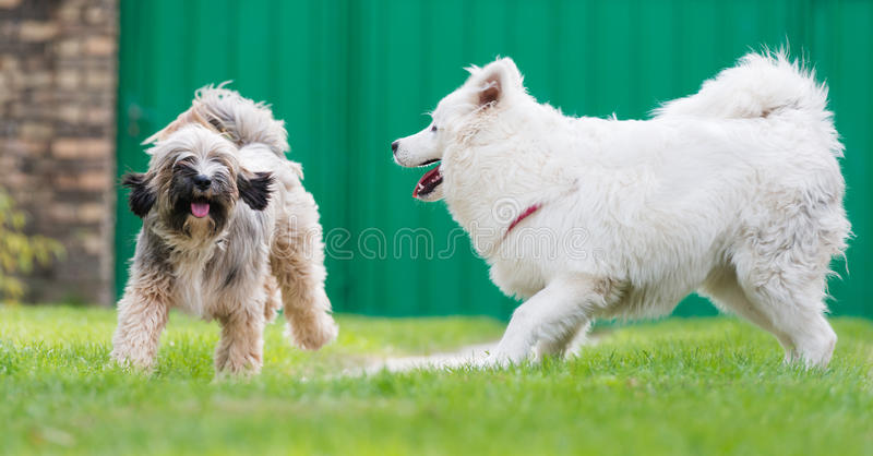 Download Tibetian Terrier And Samoyed Stock Image - Image: 34253233