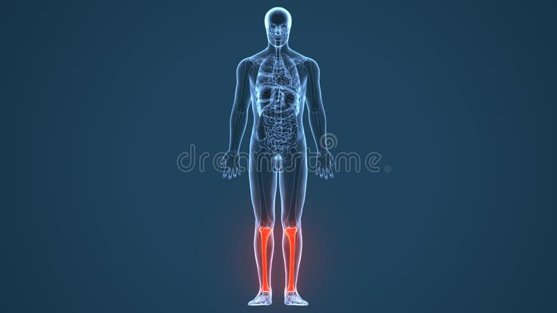 3D Illustration of Human Skeleton Tibia and Fibula Bones. The tibia , also known as the shinbone or shankbone, is the larger, stronger, and anterior frontal of stock illustration