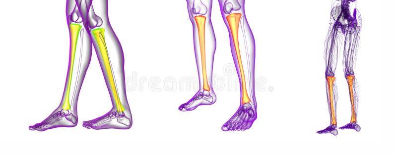 Tibia Bone Stock Illustration Illustration Of Human 88553662