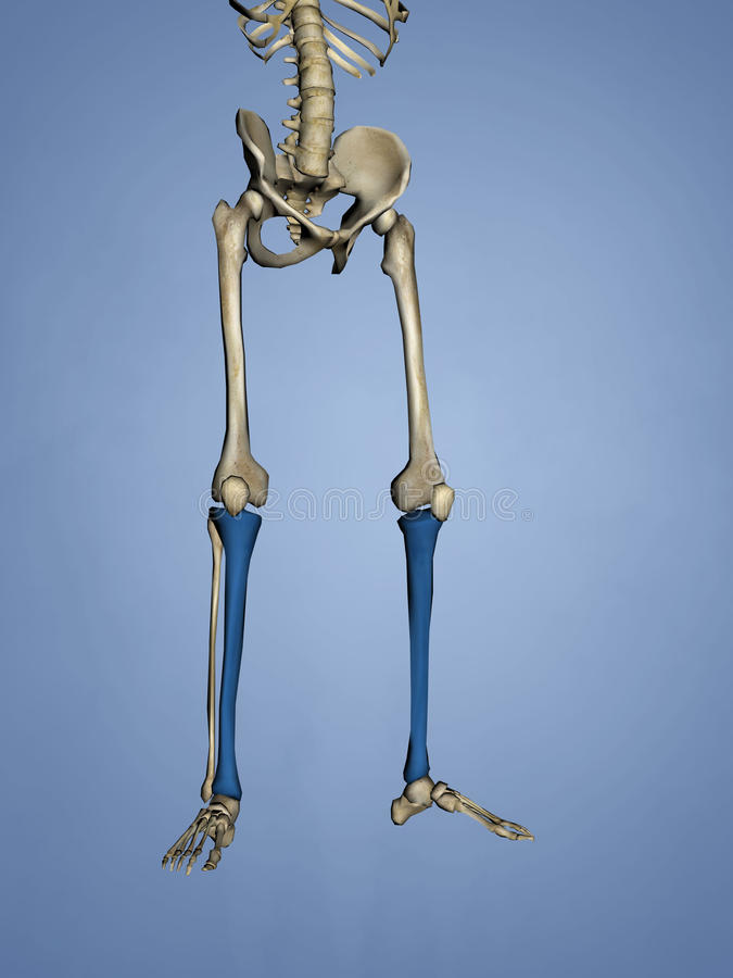 Tibia, 3D Model stock photography