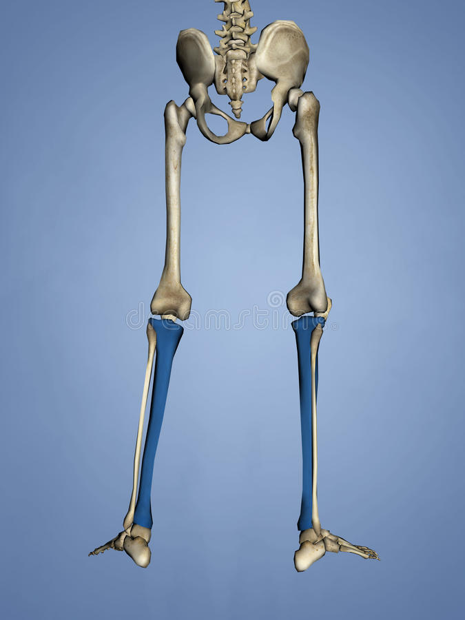 Tibia, 3D Model stock images