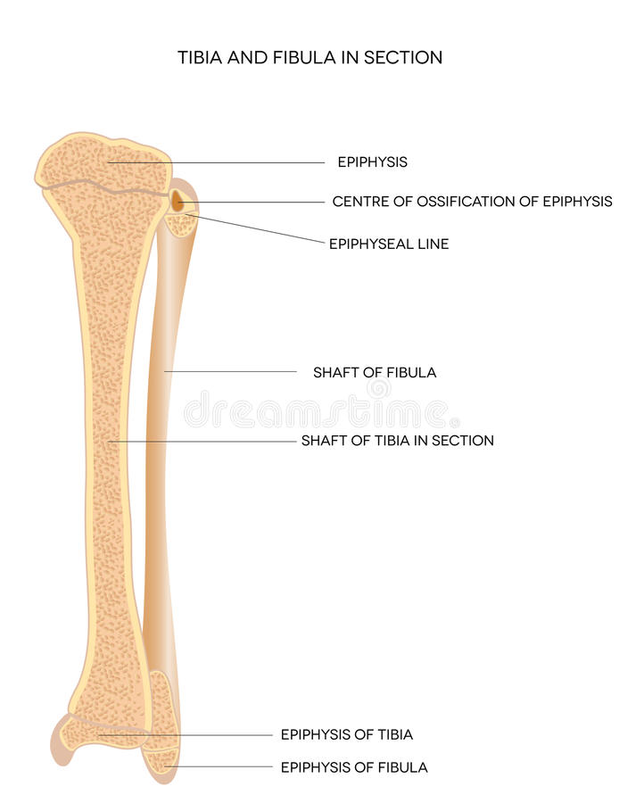 Tibia And Fibula- Leg Bones Stock Vector - Illustration of ...