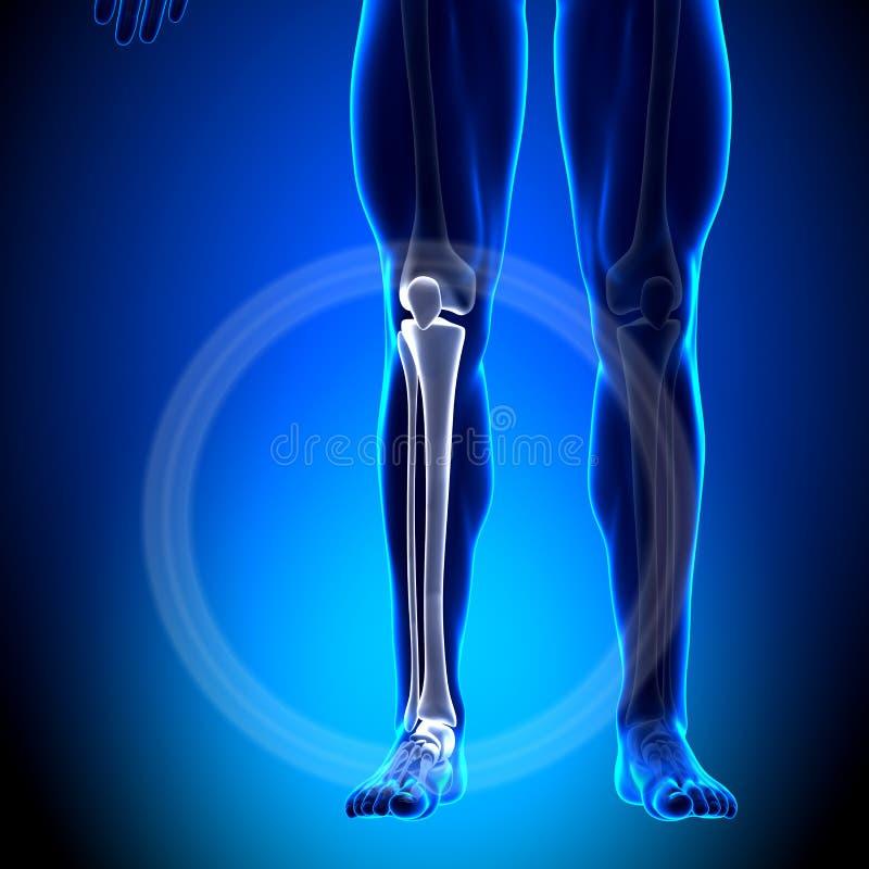 Tibia/peroné - Anatomía Del Becerro - Huesos De La Anatomía Stock de ...