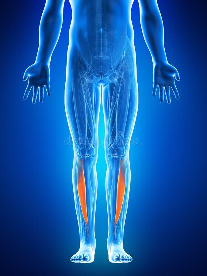 The tibialis anterior. Anatomy illustration showing the tibialis anterior stock illustration