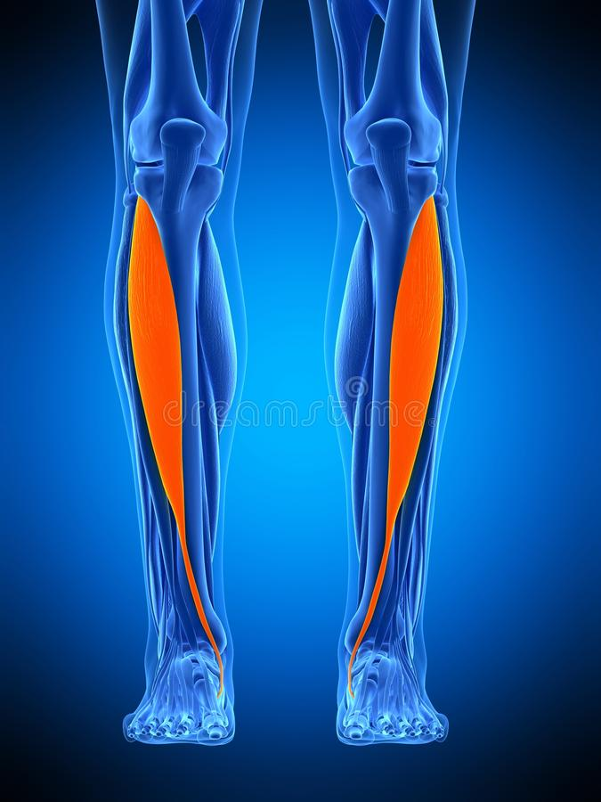 The tibialis anterior. Medically accurate illustration of the tibialis anterior royalty free illustration