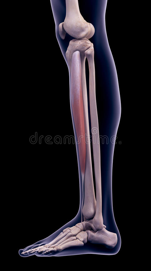 The tibialis anterior. Medically accurate illustration of the tibialis anterior vector illustration