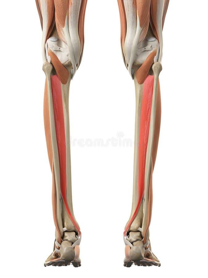 The tibialis posterior stock illustration. Illustration of back ...