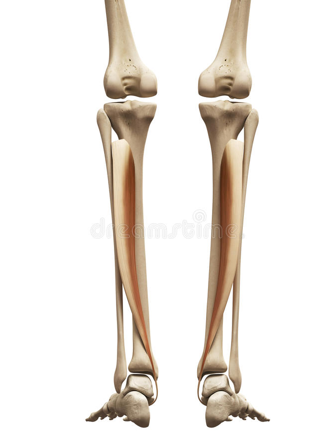 The tibialis posterior stock illustration. Illustration of health ...