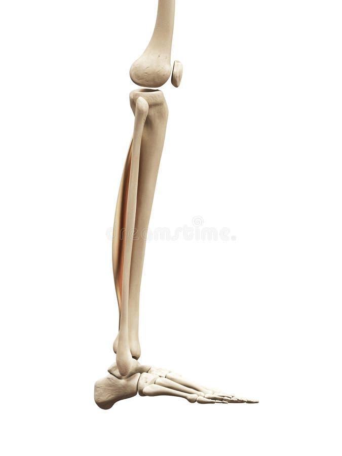 The tibialis posterior stock illustration. Illustration of tibialis ...