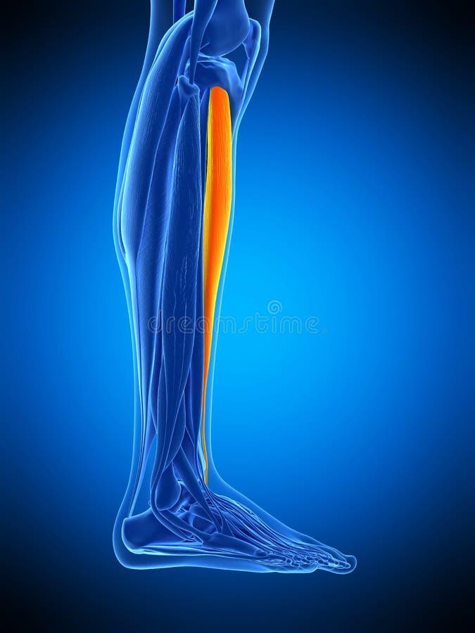 The tibitalis anterior. Medically accurate illustration of the tibitalis anterior vector illustration