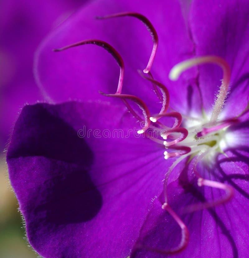 Download Tibouchina foto de stock. Imagem de macro, planta, botanical - 115334