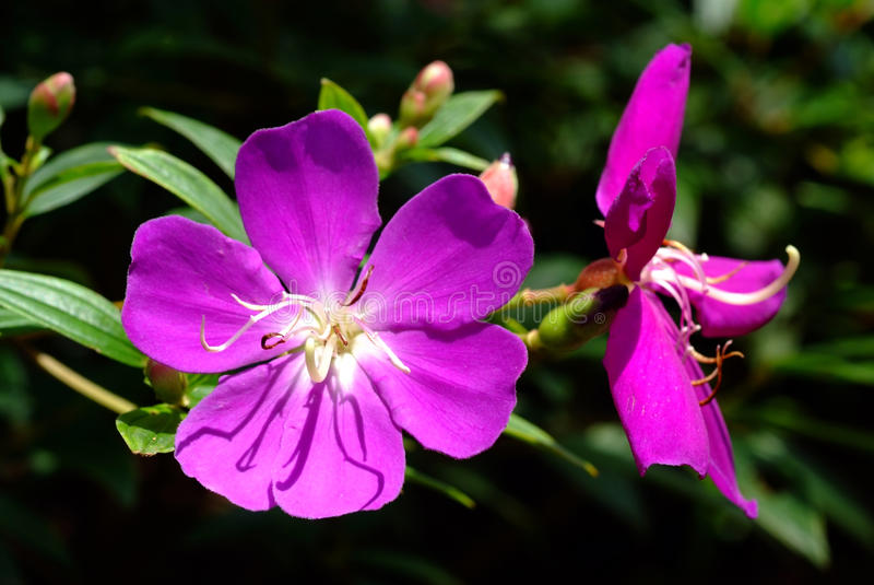 Tibouchina Urvilleana foto de stock royalty free