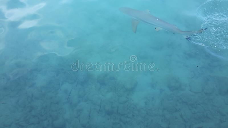 Tiburón amistoso foto de archivo