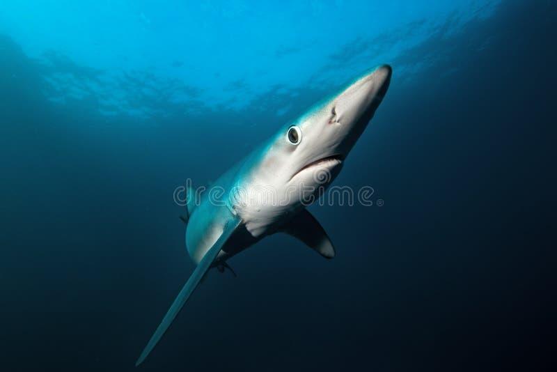 Tiburón azul, glauca del prionace, Suráfrica fotos de archivo