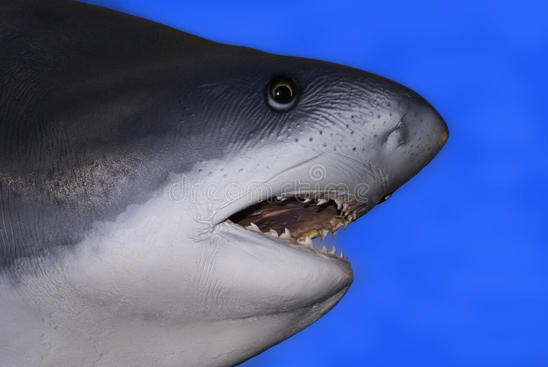 Tiburón blanco de Greak imagen de archivo libre de regalías