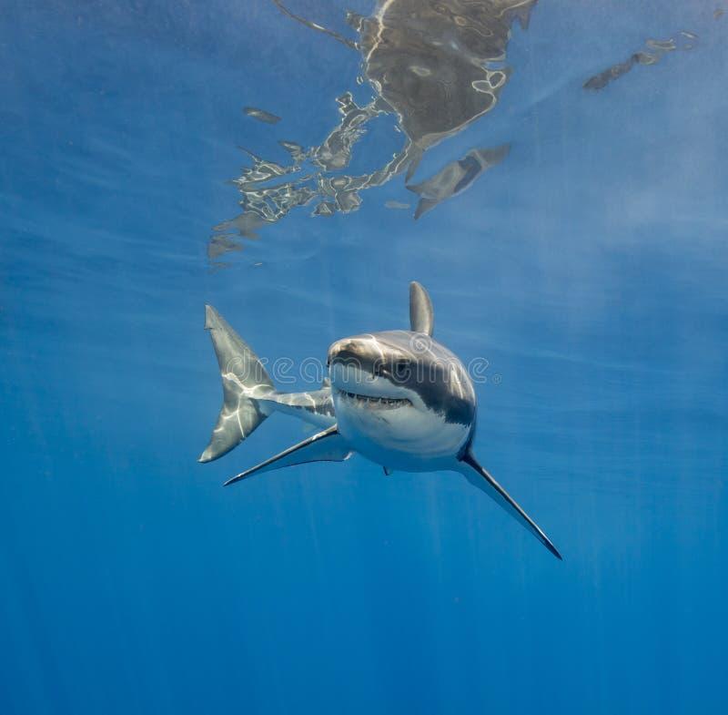 Tiburón blanco subacuático imagenes de archivo