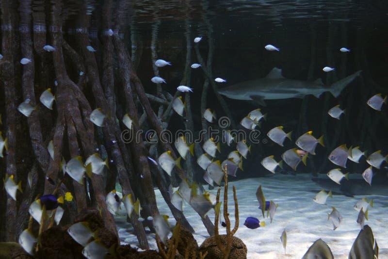 Tiburón con los pescados alrededor y la vegetación alrededor fotografía de archivo