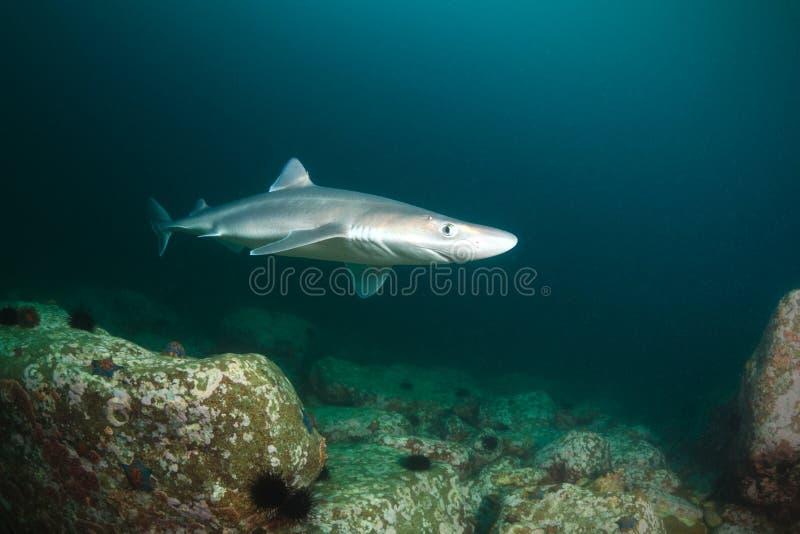 Tiburón curioso imagen de archivo libre de regalías