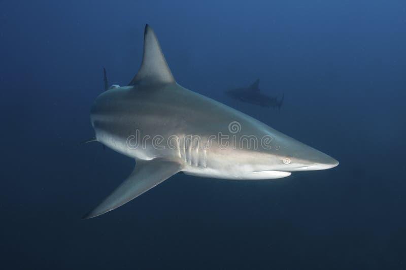 Tiburón curioso imágenes de archivo libres de regalías