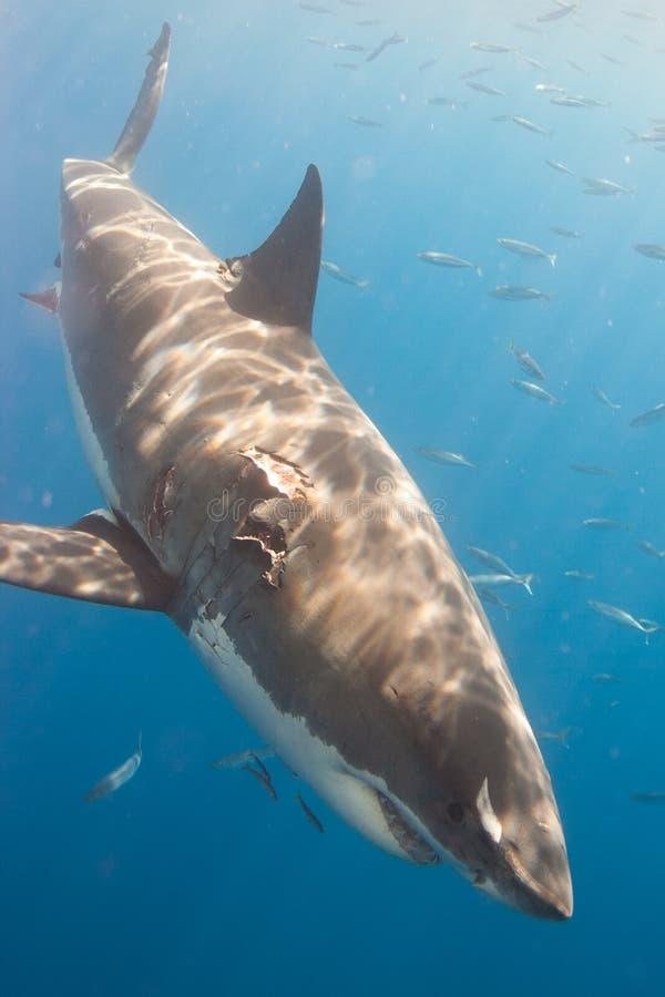 Tiburón dañado fotografía de archivo libre de regalías