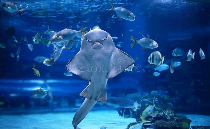 Tiburón de ángel fotografía de archivo