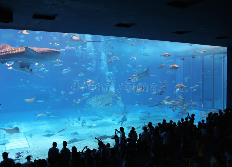 Tiburón de ballena de la gente y rayos de manta de observación en acuario fotos de archivo libres de regalías